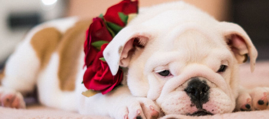 Featured image 4 Types of Skin Problems in American Bulldogs Impedigo - 4 Types of Skin Problems in American Bulldogs
