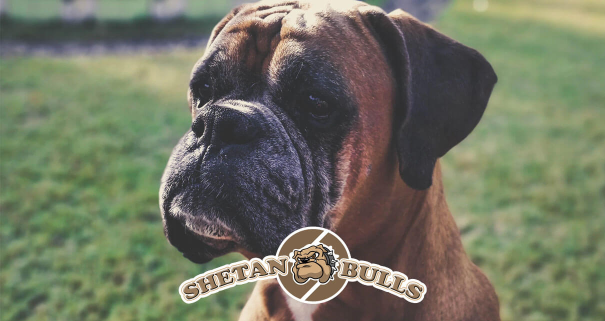 4 Types of Skin Problems in American Bulldogs