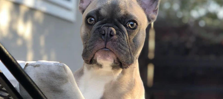 Featured image 5 Types of American Bulldogs You Should Know About The Old Southern - 5 Types of American Bulldogs You Should Know About