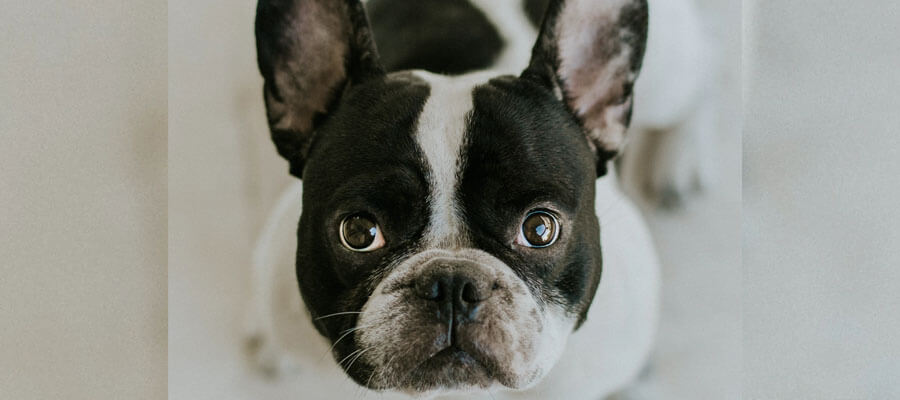 Featured image 5 Types of American Bulldogs You Should Know About The Painter - 5 Types of American Bulldogs You Should Know About