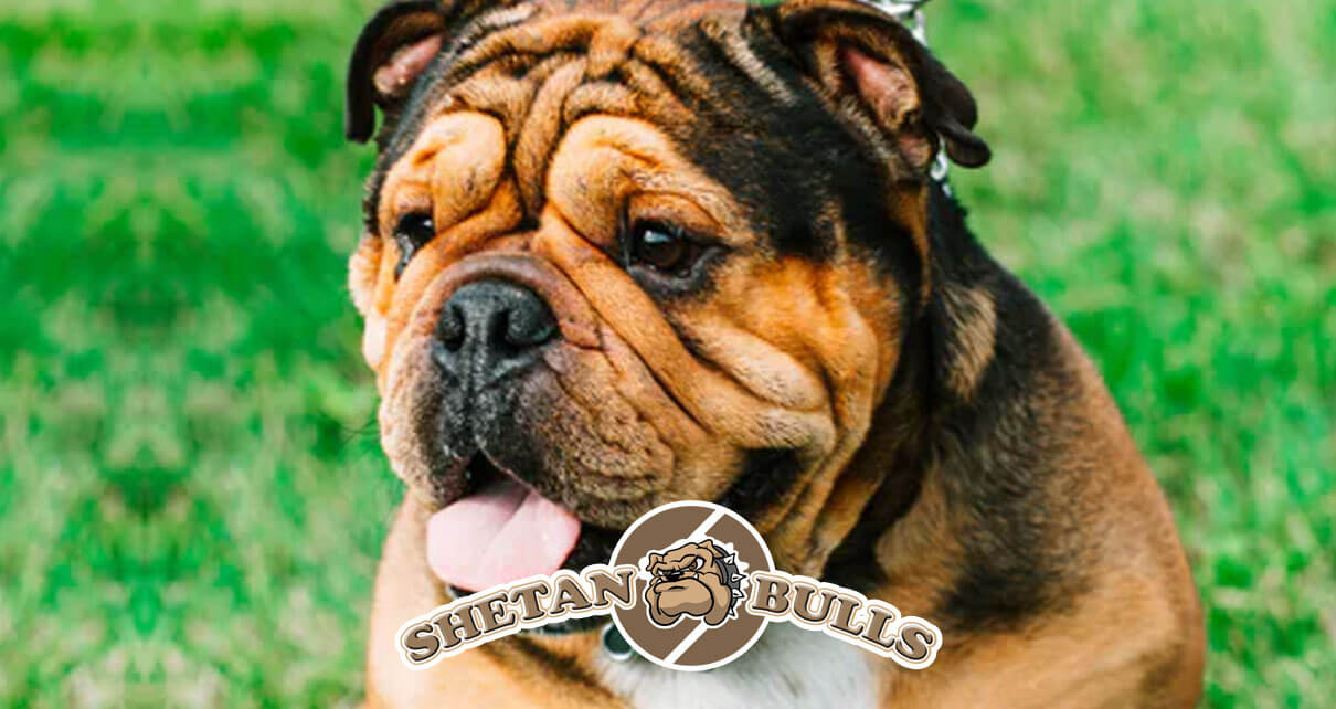 5 Types of American Bulldogs You Should Know About
